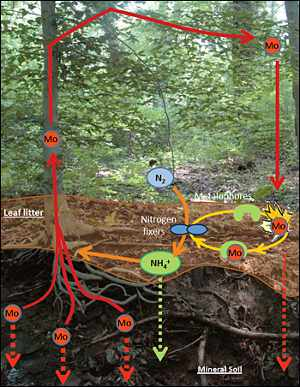 Molybdenum Cycle